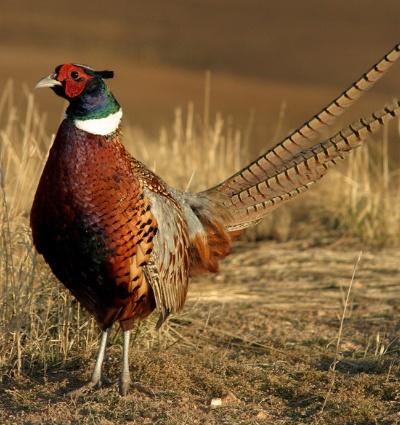 upland-bird